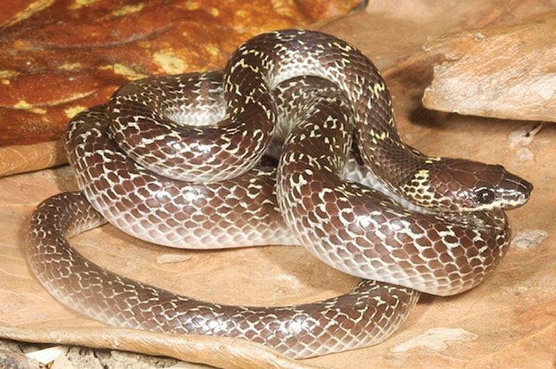 common-wolf-snake